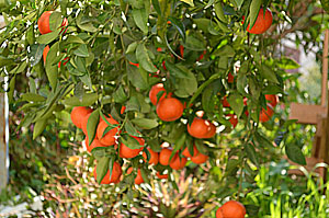 mandarin_tree